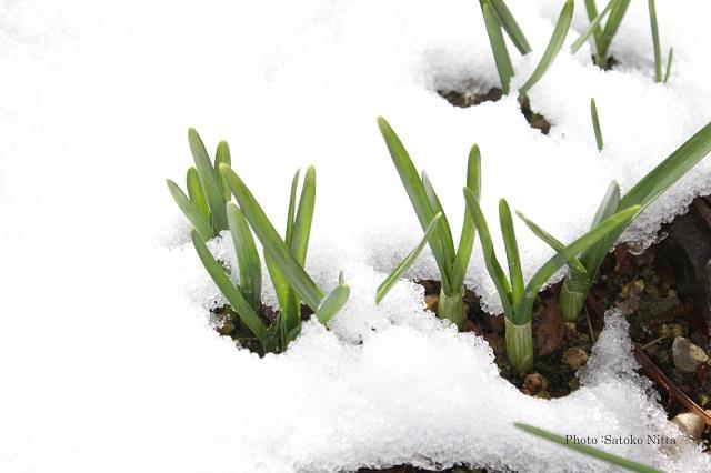 HP雪とスイセン.jpg